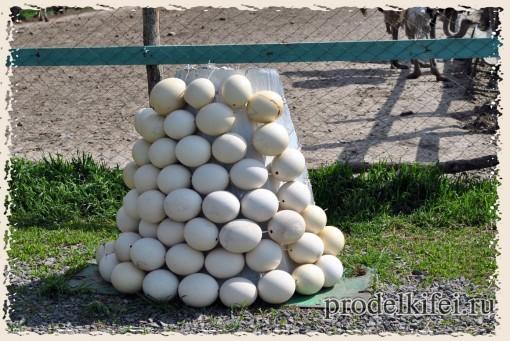 кладка яйц страуса