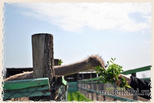 кормим страусов с рук на ферме
