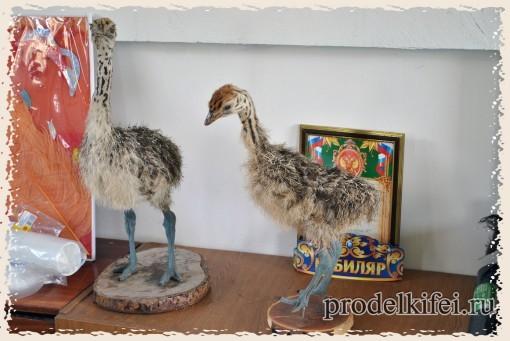 птенцы страуса чучела