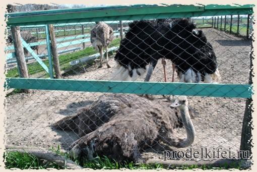 самка страуса и самец