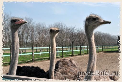 страусы настроже