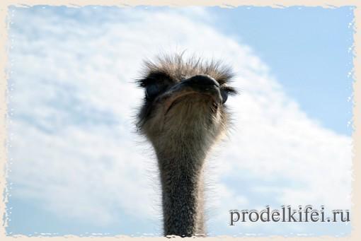 глаза страуса занимают большую часть головы