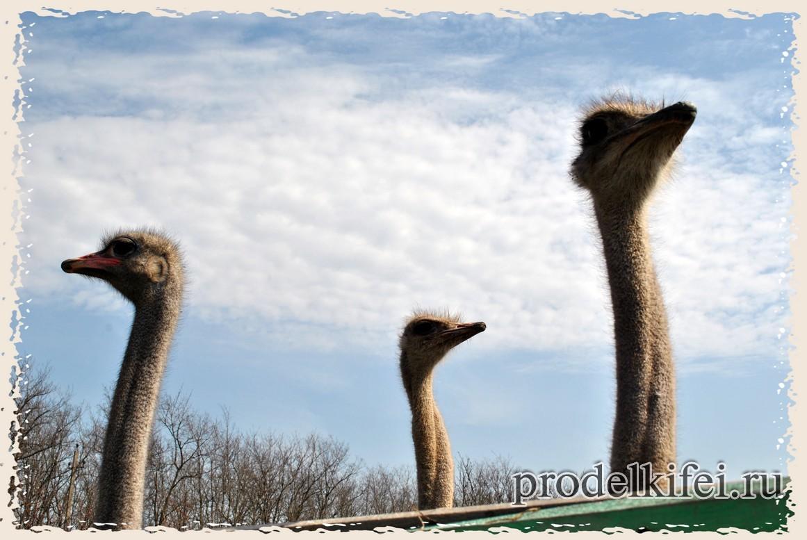 страусы в ростове